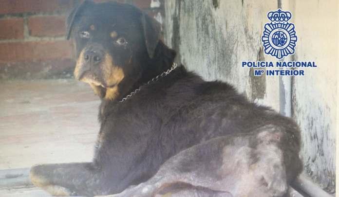  Los agentes encontraron a Candela -que así se llama el rottweiler- desnutrida y enferma motivo por el que inmediatamente la trasladaron a una clínica veterinaria donde fue asistida .