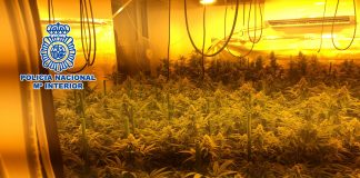 Han resultado arrestadas dos personas dedicadas al cultivo, recolección y distribución de marihuana.