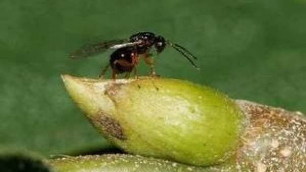 Tras el análisis de los ejemplares afectados por este insecto se ha detectado que la fase de desarrollo de las agallas hace que actualmente se encuentren totalmente formadas y lignificadas.
